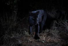 Depois de quase 100 anos, a Pantera Negra reaparece em África