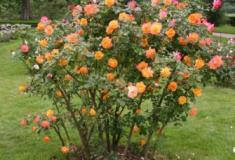 Como fazer propagação de roseiras por estacas
