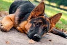 9 tipos de cães que parecem dóceis mas são agressivos