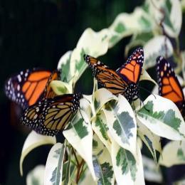 As borboletas Monarca e sua incrível migração