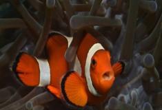 Os peixes-palhaço e sua estranha vida