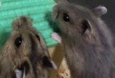 Hamster pregando a palavra
