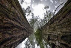 As sequoias gigantes