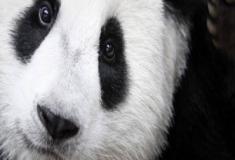 Descubra o segredo sobre o panda-gigante