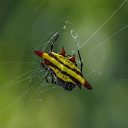 As aranhas chifrudas
