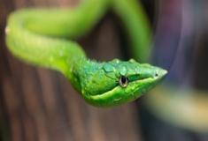 Órgãos sensoriais e a origem das cobras