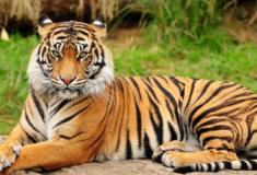 30 fatos interessantes sobre tigres