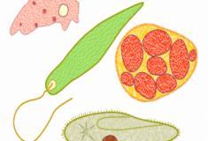 Os protozoários: organismos simples
