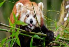 O pequeno e raro panda-vermelho