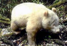 Pesquisadores capturaram imagens de um panda gigante albino