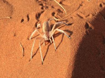Aranhas do deserto