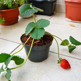 Como plantar morangueiros em casa
