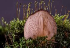 O que são os fungos Zigomicetos?