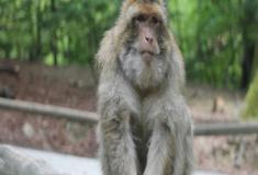 Os macacos-rhesus e sua vida social em grupo