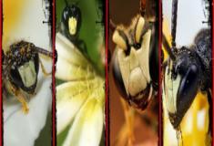 Você sabe quais são as espécies de abelhas que estão em risco de extinção?