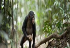 Será mesmo que os chimpanzés tem religião?