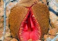 Plantas exóticas com formato de orgãos sexuais