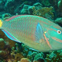 Para o peixe-papagaio, a mudança climática é uma má notícia