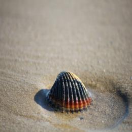Bivalves: os moluscos de duas valvas