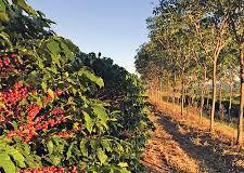 Redução em mais de 20% na safra de café este ano