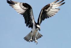 A incrível habilidade de caça da águia-pescadora
