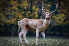 """""""Doença dos cervos Zombies"""" pode se transmitir aos seres humanos"""