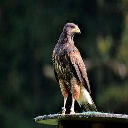 Aves ornamentais eternas