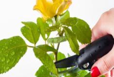 Como cultivar as plantas perenes? Corte e redução - Parte #3