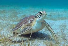 Temperaturas estão causando o nascimento de mais tartarugas