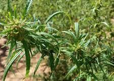 Cultivo da maconha pode colocar Brasil como grande exportador