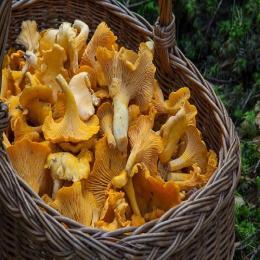 Os cogumelos Chanterelles