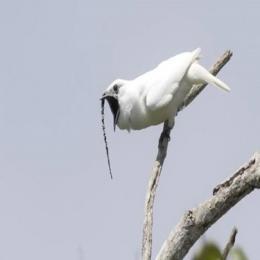 O pássaro mais barulhento do mundo é tão ensurdecedor quanto um trovão