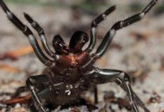 Conheça o Top 10 das aranhas mais venenosas do mundo