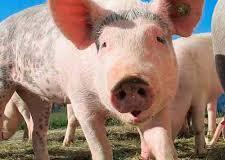 Grecia detecta primeiro surto de peste suína