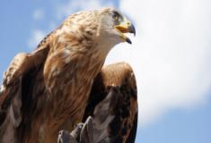 Quais são as características de uma ave de rapina?