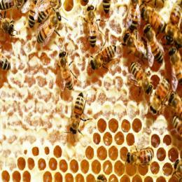 Como as abelhas produzem o mel?