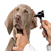 Nova solução para evitar a dor de ouvido nos animais