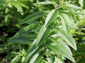 A erva verbena-limão e dicas de plantio