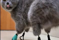 Conheça a gata biônica que teve as patas substituídas por próteses de titânio.