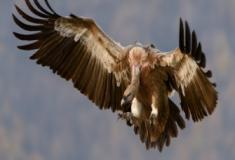 As diferenças entre os abutres e os falcões em relação ao corpo e voo