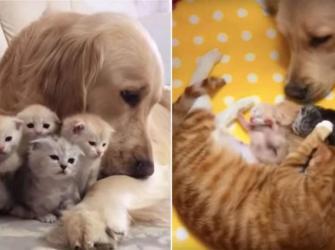 Golden Retriever se apaixona por gatinhos e ajuda mãe a cuidar dos filhotes