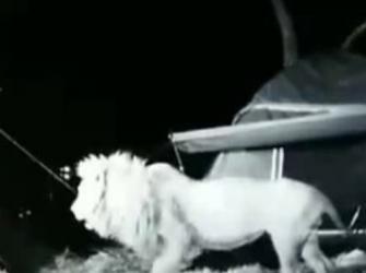 Leões curiosos cercam grupo de amigos em acampamento