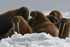 Sobrecaça de morsas levou colônias vikings na Groenlândia ao colapso