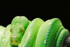 Os sentidos das cobras: visão