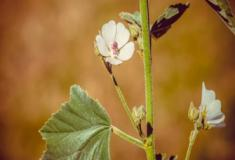 A erva malva-inglesa e dicas de plantio