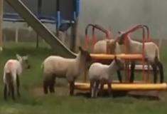 Ovelhas se divertem brincando em carrossel abandonado