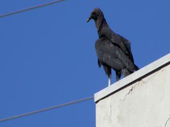 As aves comedoras de carniça: abutres e condores