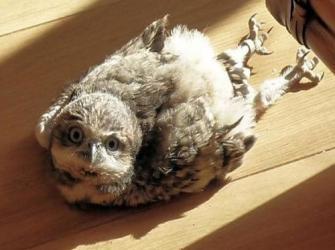 Você sabia que os bebês corujas dormem de bruços?