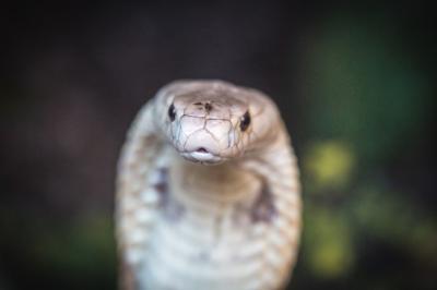 FOTOS: zoológico faz ensaio com cobra naja que picou estudante em Brasília